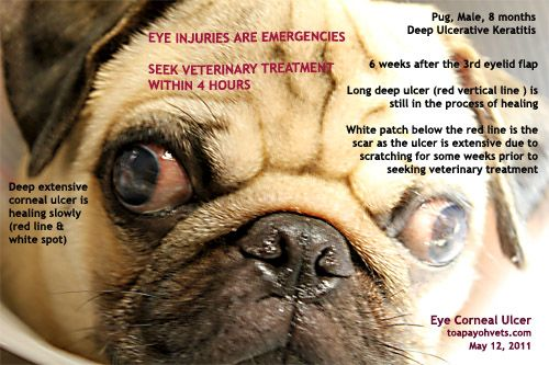 Pug Health Problems Pug Health Problems Pedigree Dog Pugs