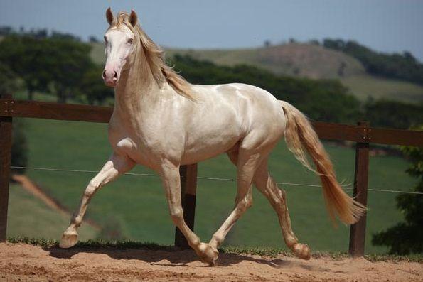 Isabel (European name for Cremello or Perlino) Lusitano stallion Cupido Interagro