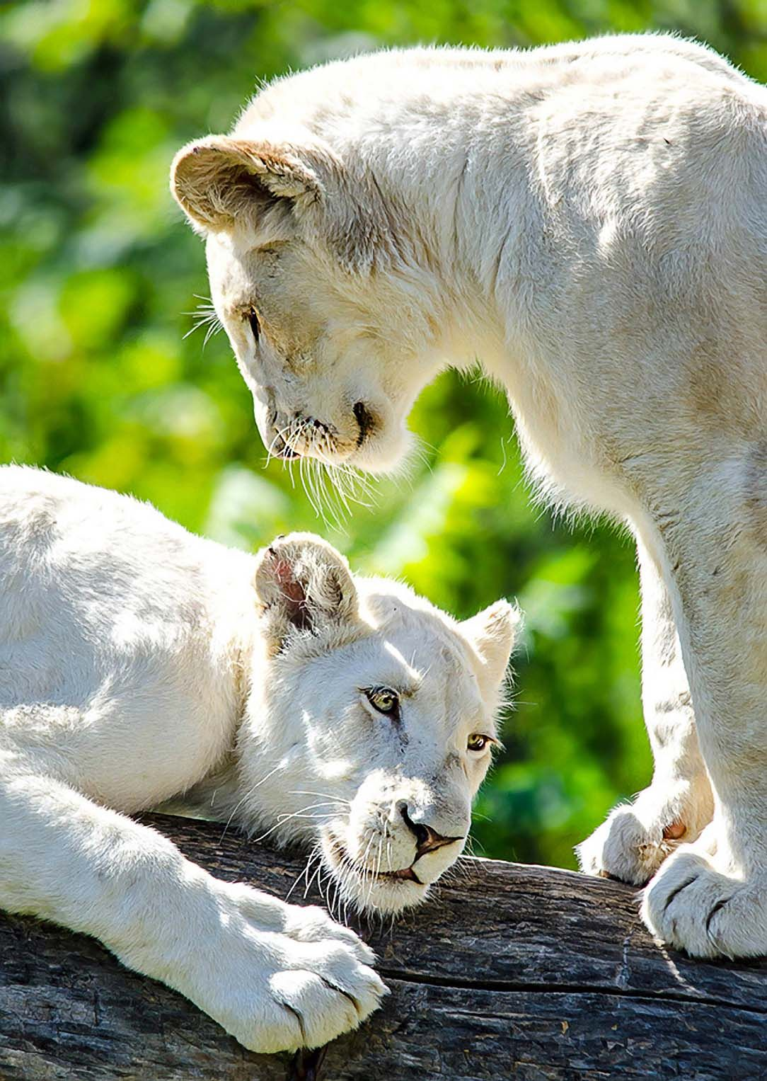 White Lion Cubs. (by Nuao)