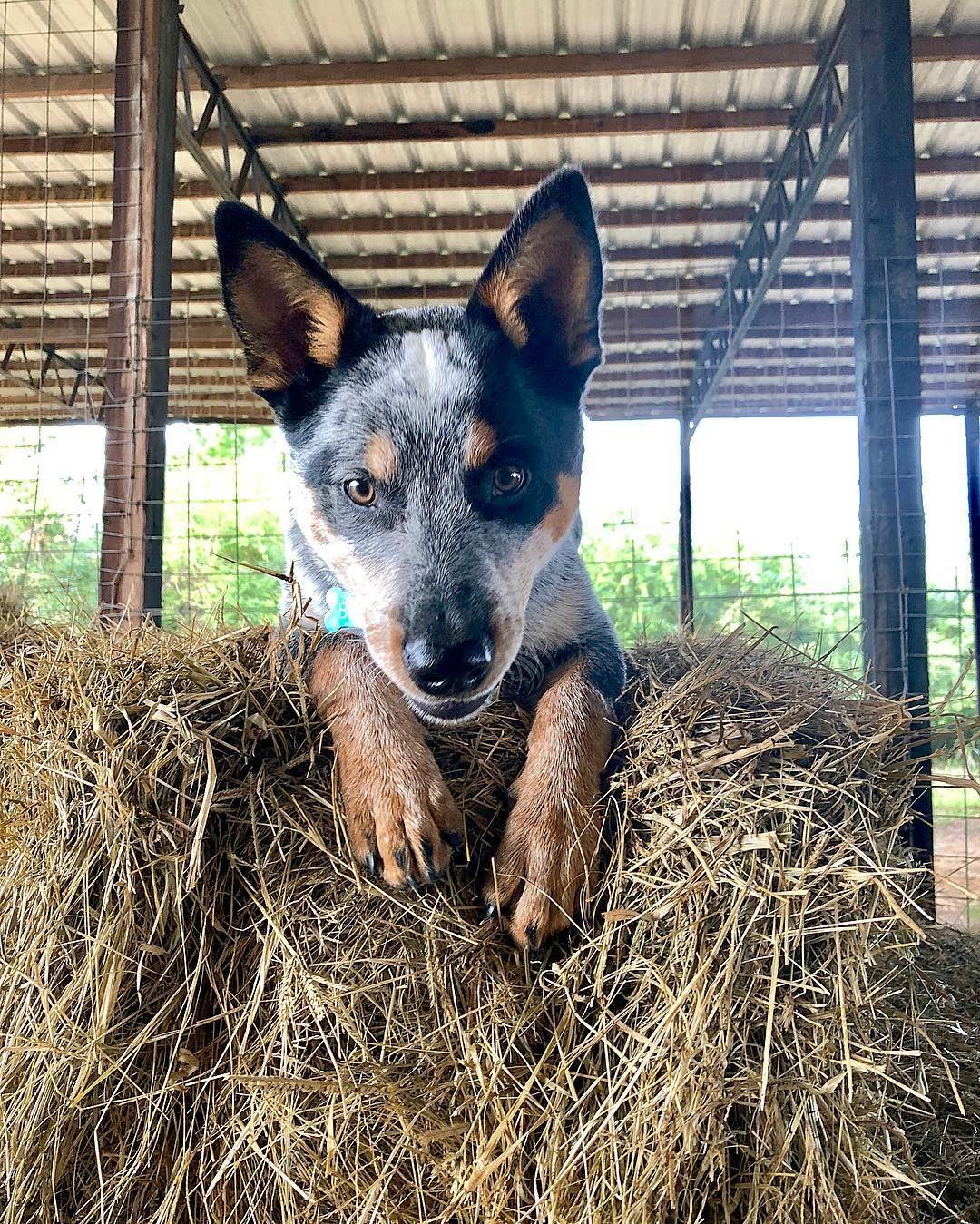 Thelifeofblu On Instagram Haaayyyyy Blu The Blue Heeler Pup Blue Healer Dog Heeler Puppies Blue Heeler Dogs