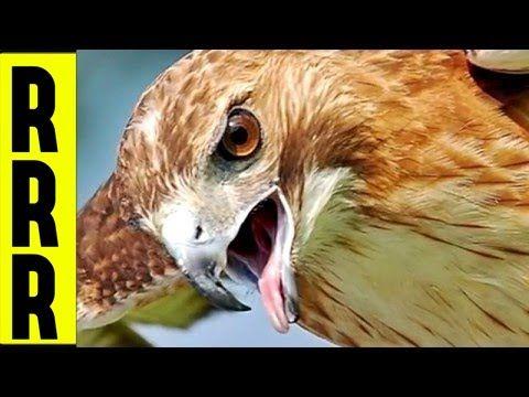 10 Free Bird Repellent Eagle Sounds X3d Birds Of Prey Calls Animal Control X3d Pest Control Aves 鳥 Youtube Bird Repellents Bird Animals