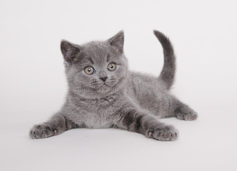 British Shorthair Kitten Sitting On The White Background Sponsored Kitten Shorthair British Shorthair British Shorthair Kittens British Shorthair Cats