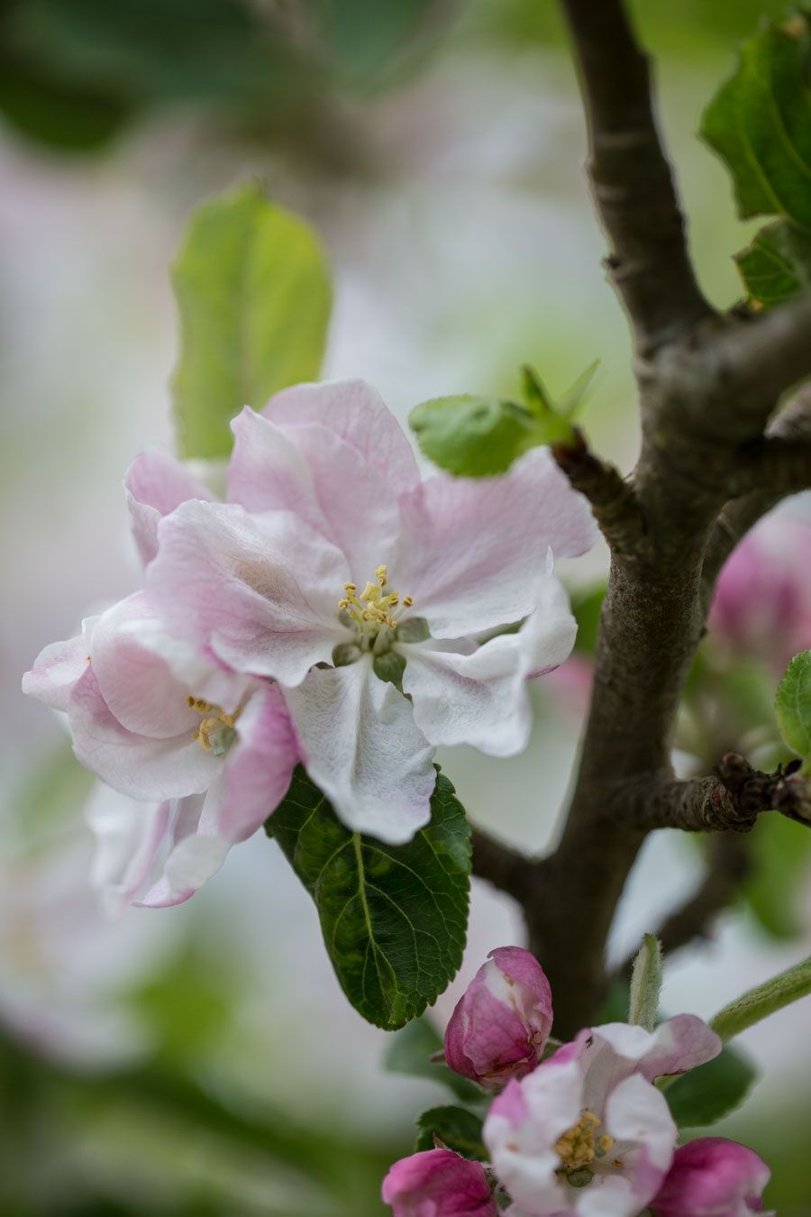 Best Things To See In Spring Apple Trees In Blossom Lobster And Swan Apple Blossom Flower Apricot Blossom Apple Tree