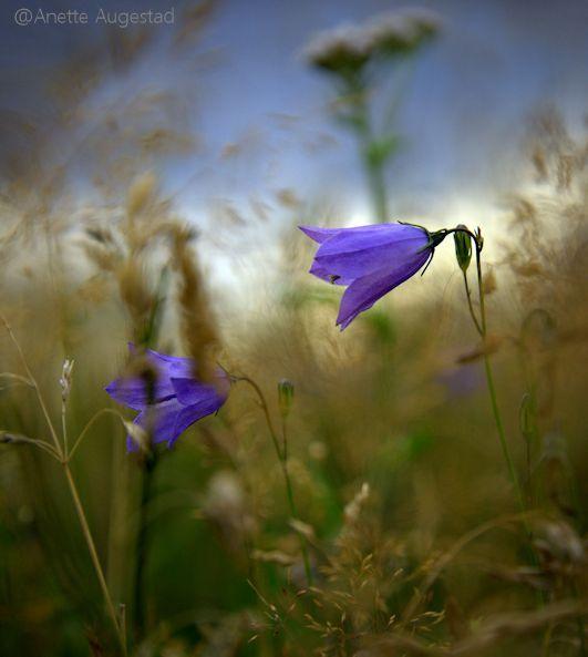 Bluebell by Hestefotograf