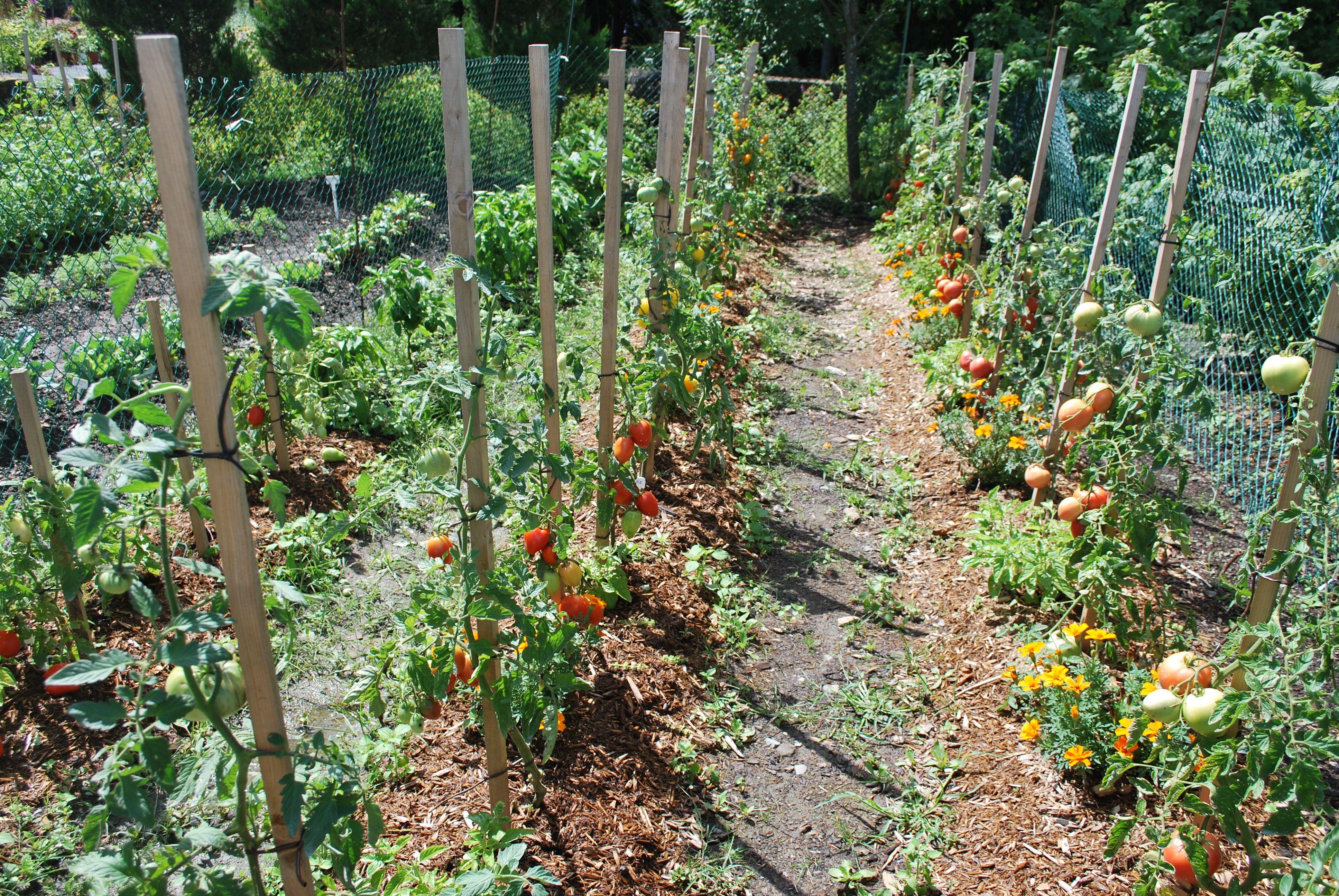 Rangs de tomates et compagnonnage avec les soucis du - Que faire avec des tomates du jardin ...