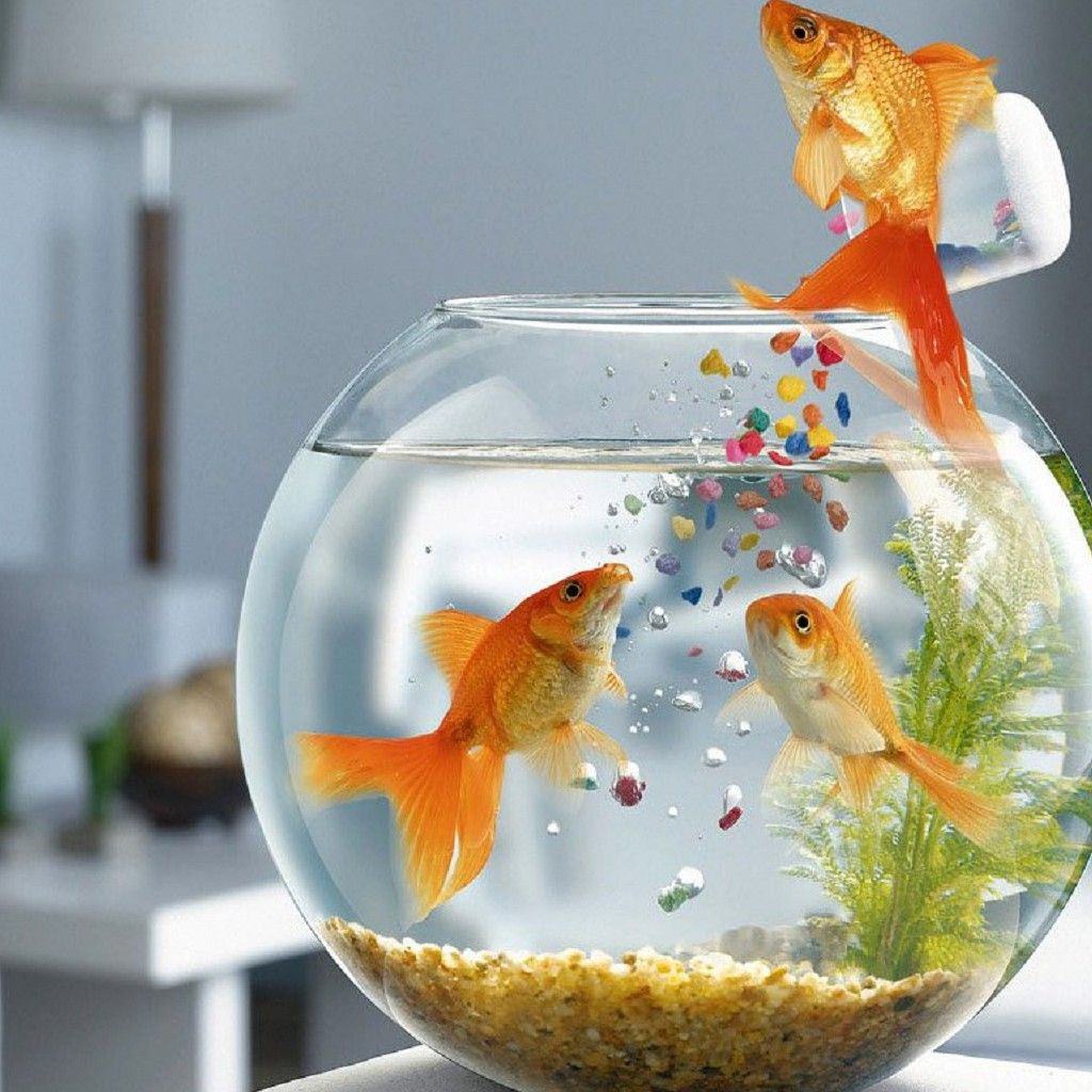 Fish aquarium just dial - Can Goldfish Live In A Bowl I Had A Goldfish Bowl When I Was A