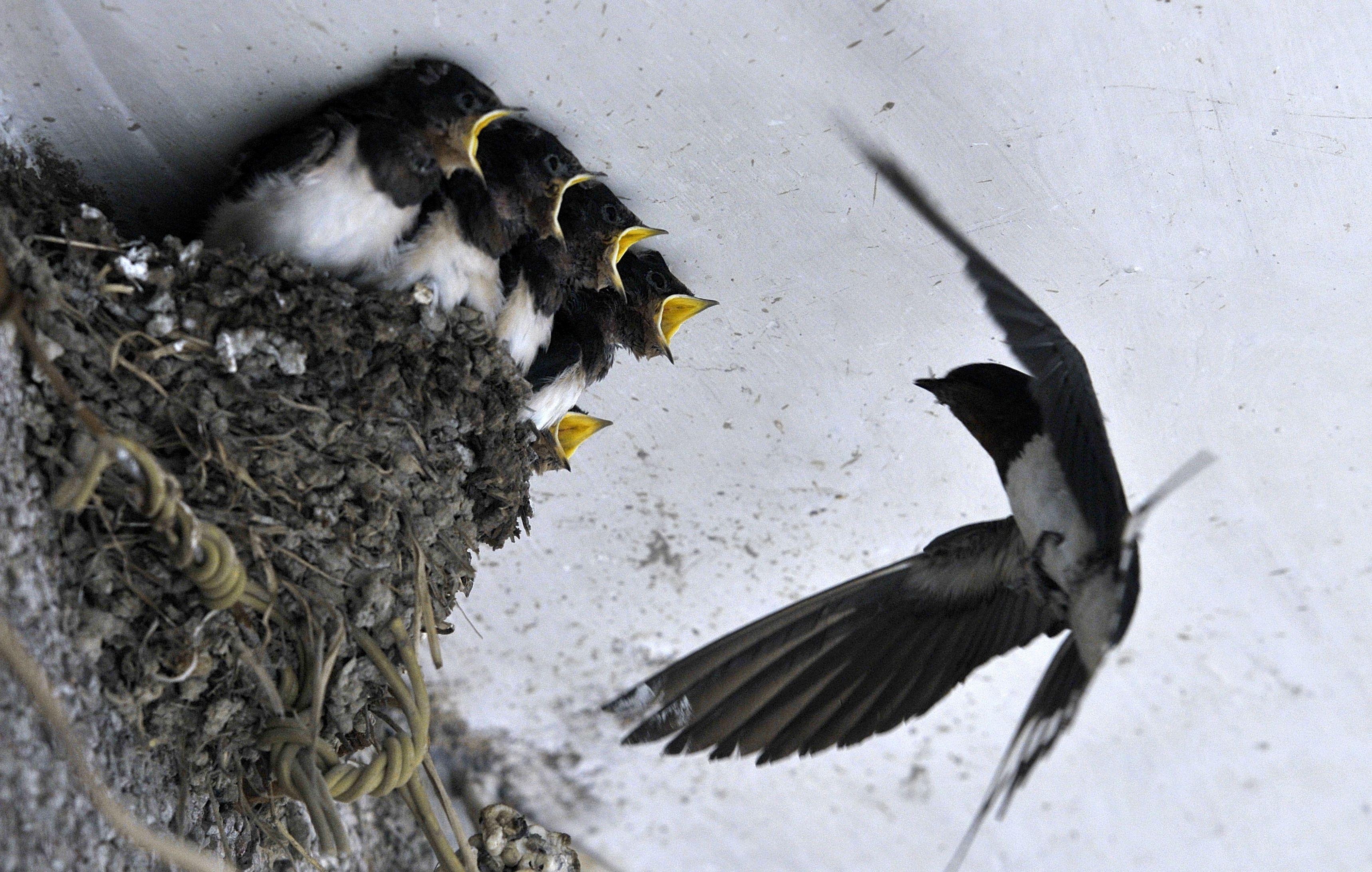 Burung Walet Memberi Makan Anak Anaknya Di Sebuah Atap Rumah Di