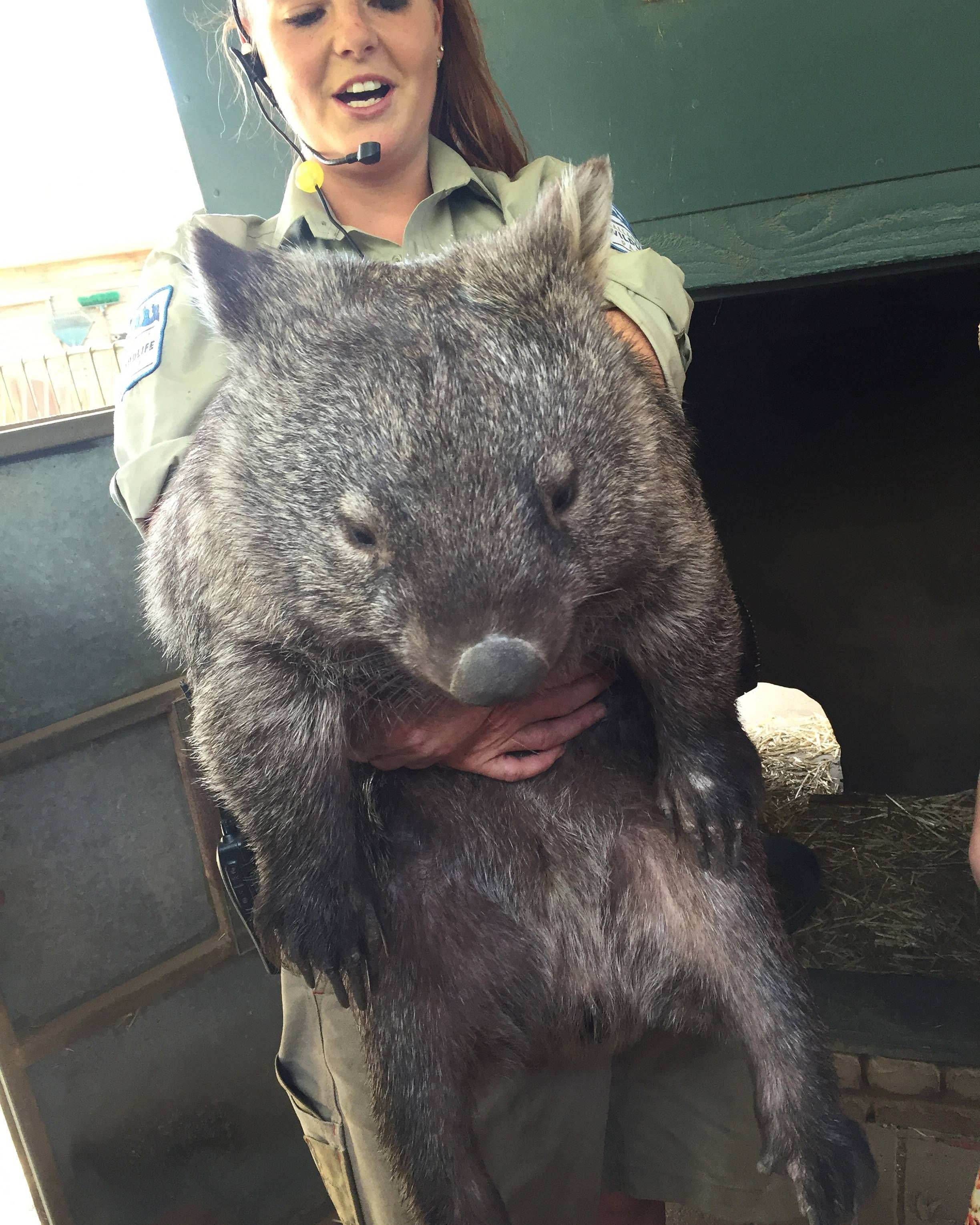 This is Patrick again the world's largest wombat. follow @GalaxyCase to see more cutest animals kids .... and learn way to make #uniqe #personalized #Samsung #Galaxy S4/S5/S6 Note 4/5 Case Cover