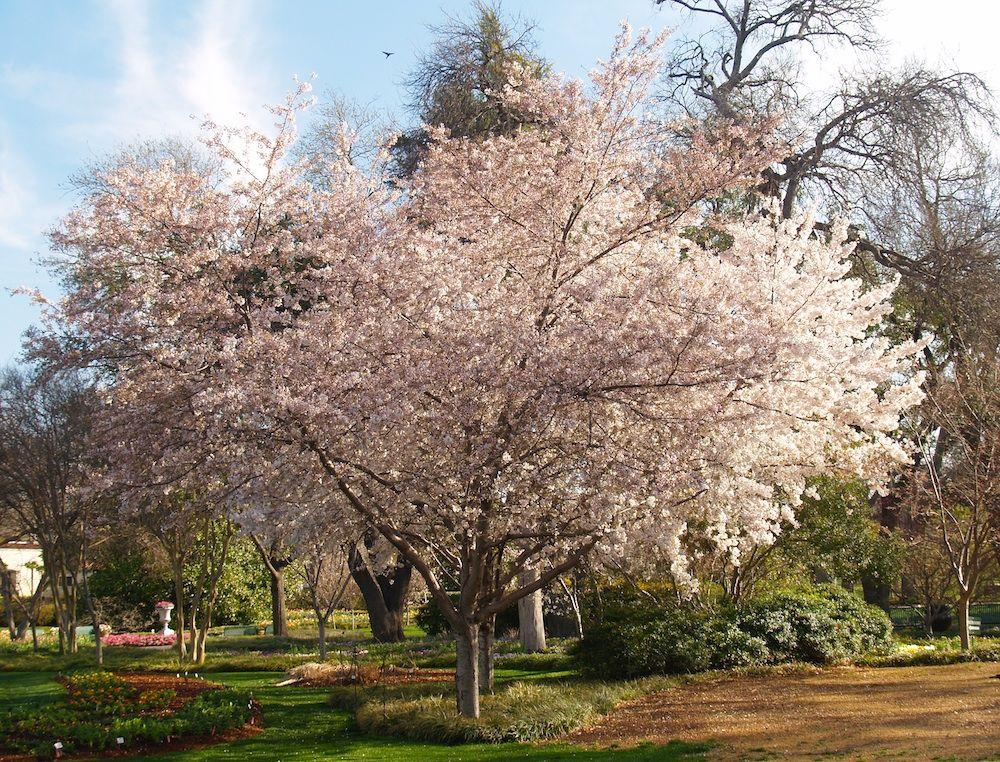 Cherry Tree Blossoms Dallas Blooms Dallas Arboretum Dallas Blooms Deep In The Hearts Of Texans Dallas Texas Cherry Blossom Tree Tree Dallas Arboretum