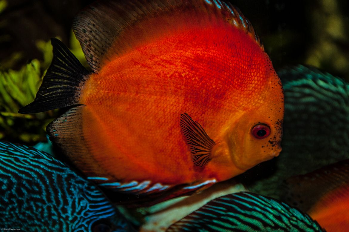 a Marlboro Red Discus fish in our aquarium, 2 years old | Guppy ...