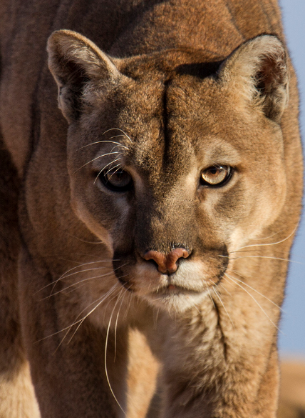 Pin By Jeffrey Wells On Nature Animals Wild Mountain Lion Big Cats