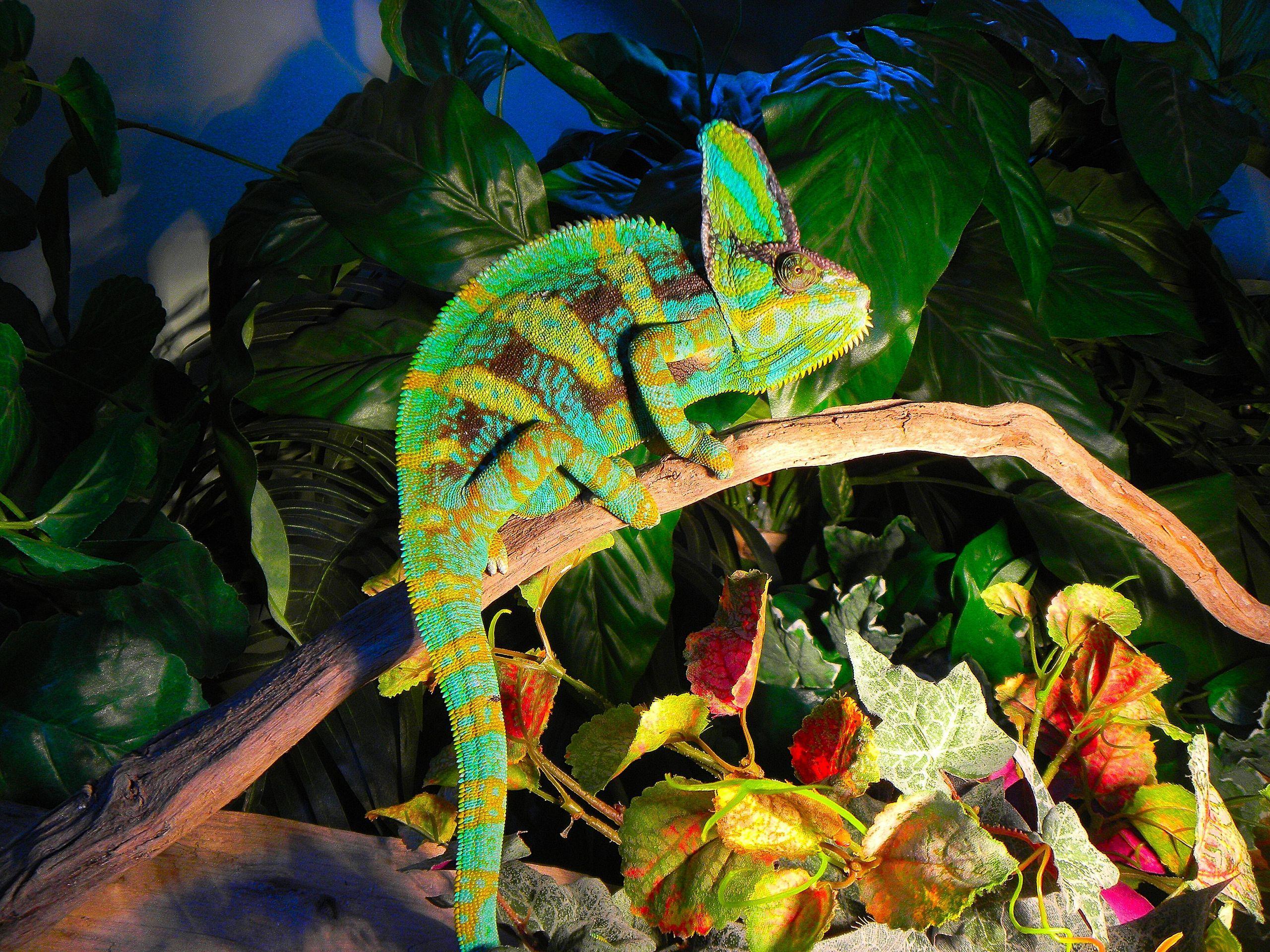 full grown veiled chameleon Google Search Veiled
