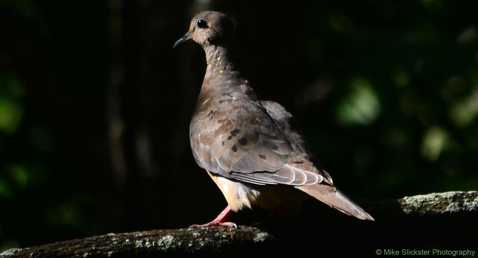 Mourning dove fine feathered friends pinterest mourning dove mourning dove buycottarizona