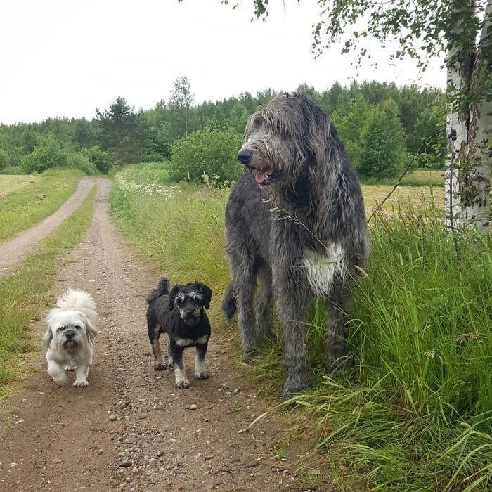 Pin by bobandersoninaz on Irish Wolfhound in 2020   Irish ...