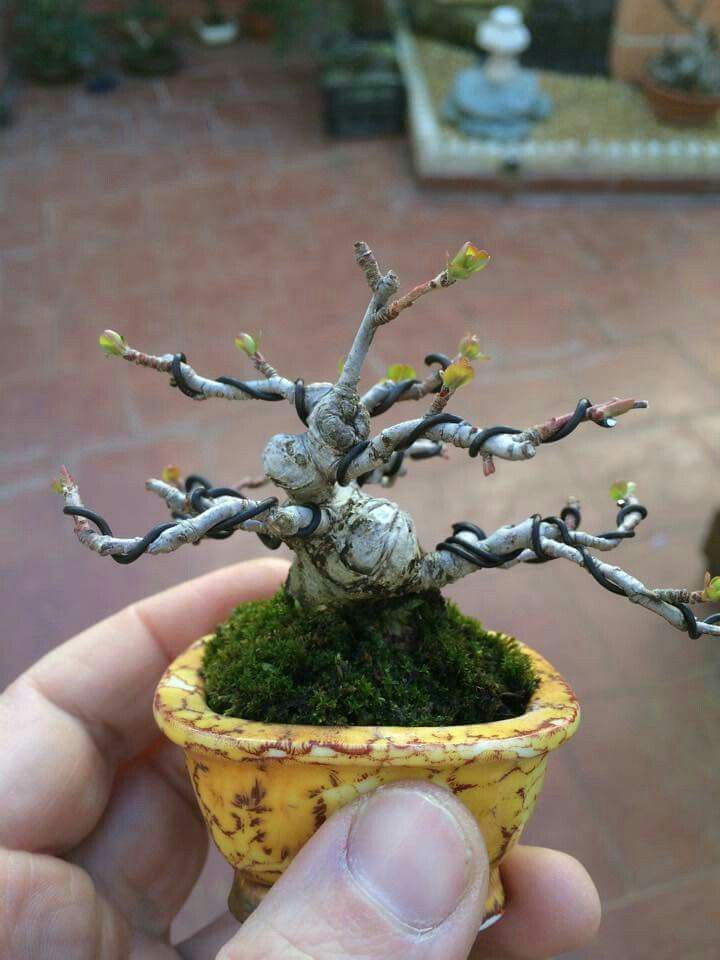 Pin de Dilver Singh en Bonsai, Ikebanas Pinterest Bonsai