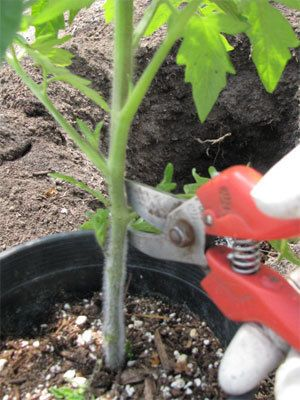 Very detailed instructions on how to plant a tomato plant.