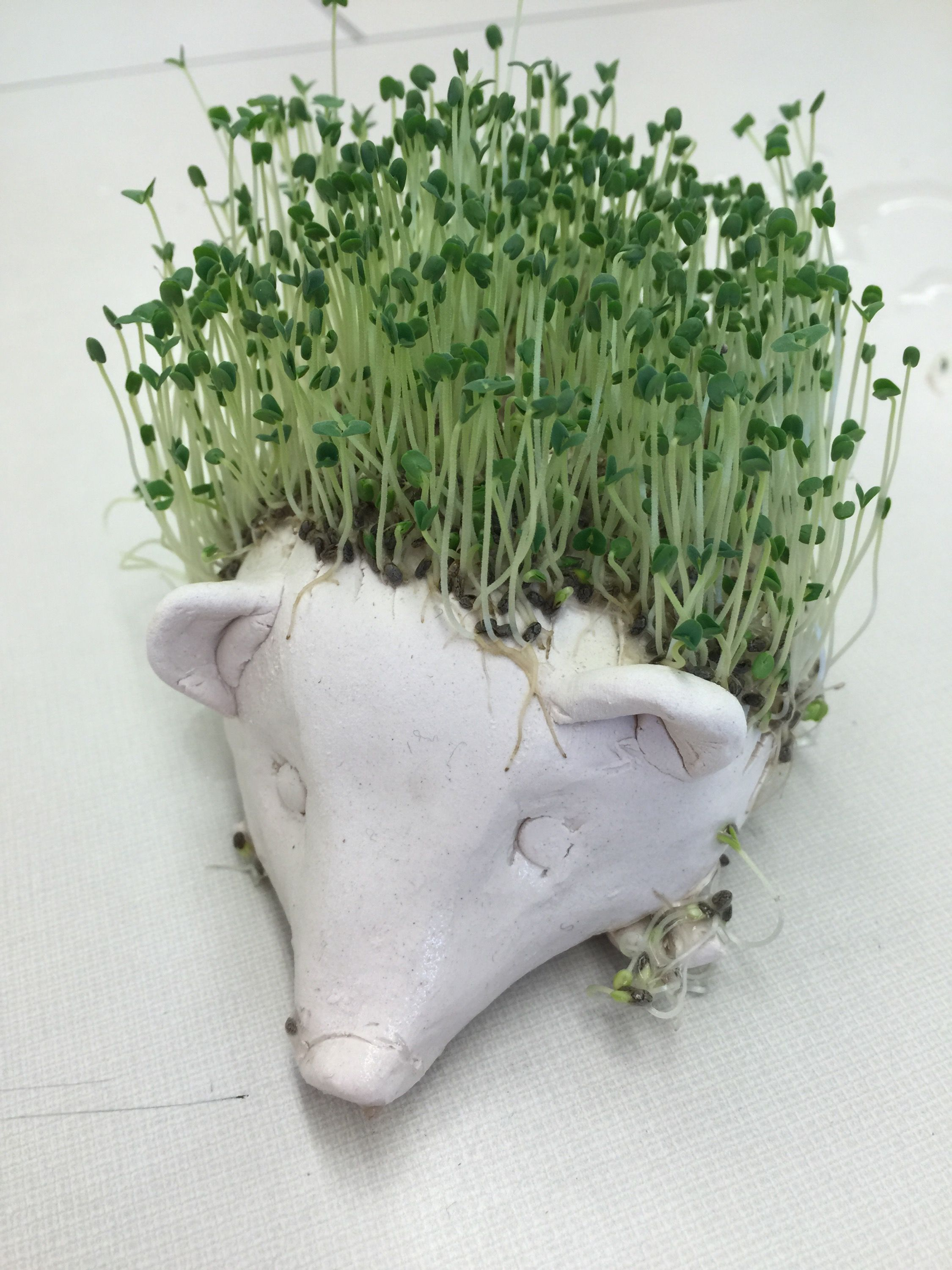 Chia pet herb garden - As The Title Suggests I M Making Chia Pets With My Studio Art Class