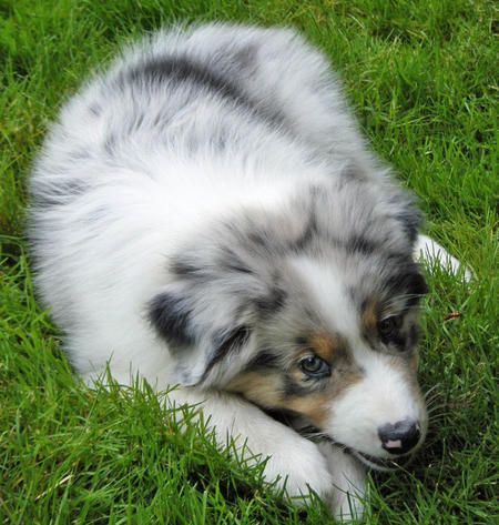 Indiana The Australian Shepherd Puppies Daily Puppy With