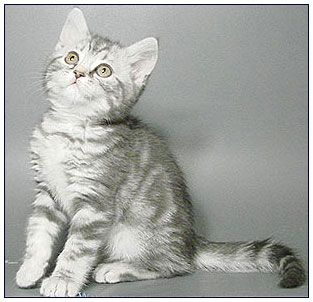 A Cat Can Also Have Both Of These Creating A Silver Blue Grey