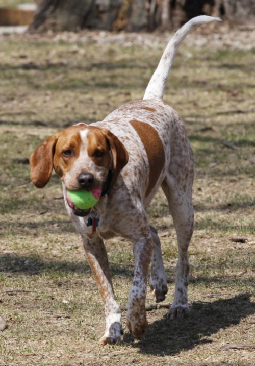 Pin On Red Tick Coonhound