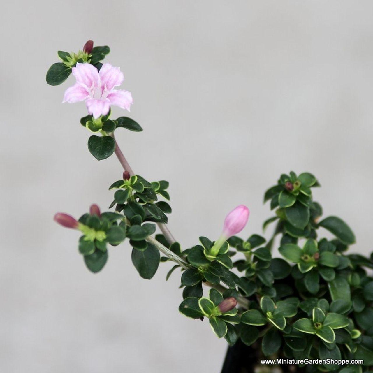Serissa Foetida Cherry Blossom Rose Like Flowers Miniature Garden Plants Miniature Plants
