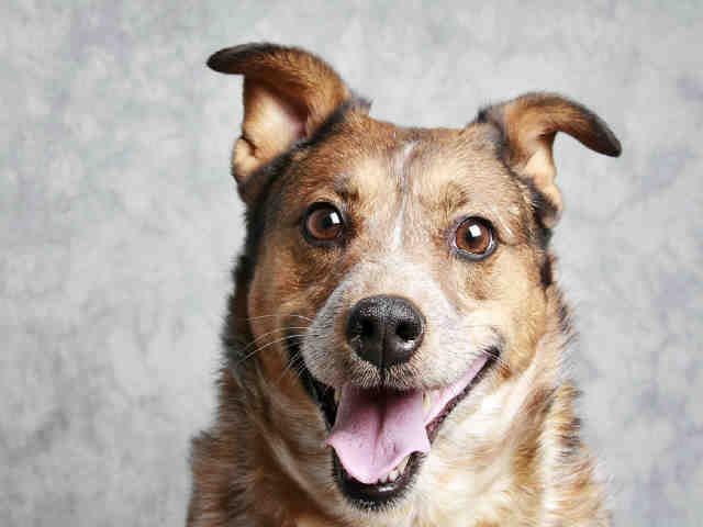 Spec (A065525) is a five year old spay Australian Cattle