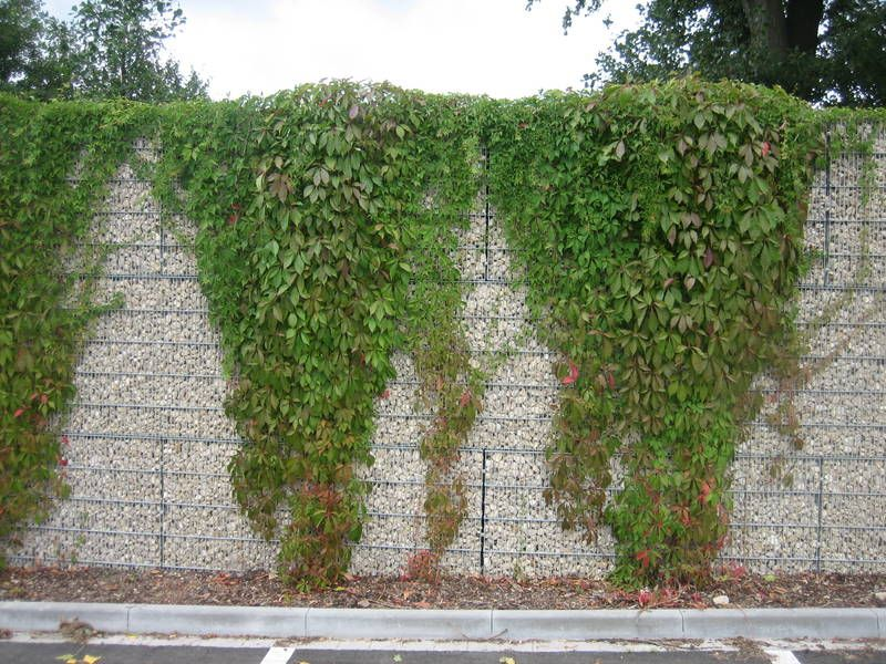 Gabions Living Wall Vines Growing Over Garden Inspiration Design Life In Colour