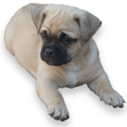 Jug Puppies For Sale In Pa Ridgewood S Jug Puppy Adoptions Jug Puppies For Sale Puppies For Sale Puppies