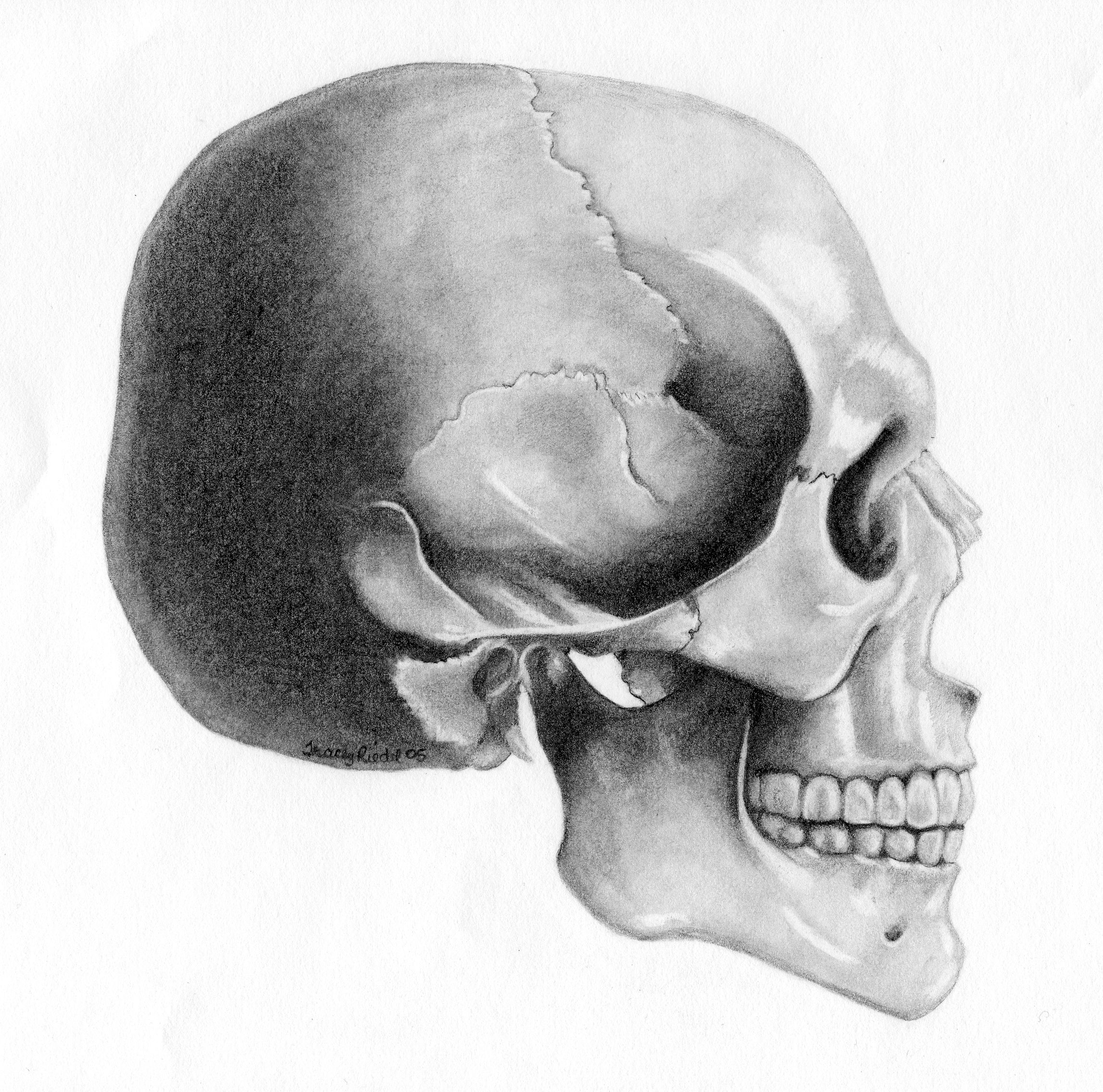 skull | Skull Side view by TraceyR | Anatomy and | Skull ...