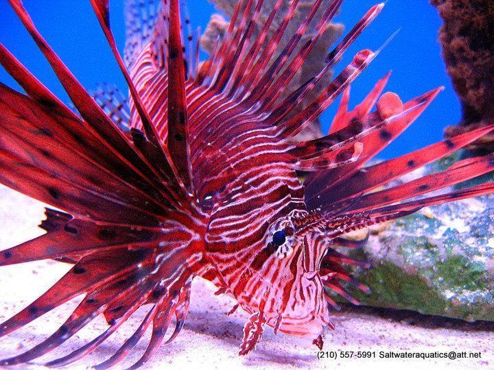 Red Volitan Lionfish Salt Water Fish Salt Water Fish Salt Water Fishing Salt And Water