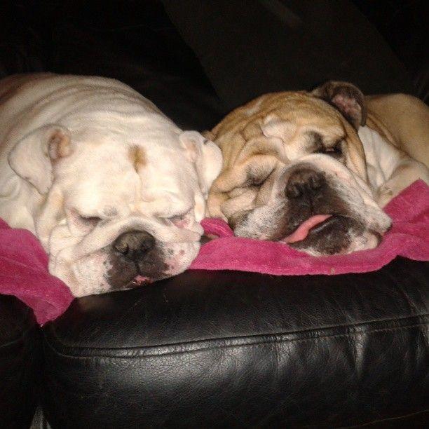 2 little tired doggies <3 #britishbulldogs #british #bulldogs #molly #bruno #missmolls #mrbubbs #tlred #sleepy #sweetdreams #cuddles #hugs #cute #lush #adorable #instagram #instapets #bullylove #Padgram