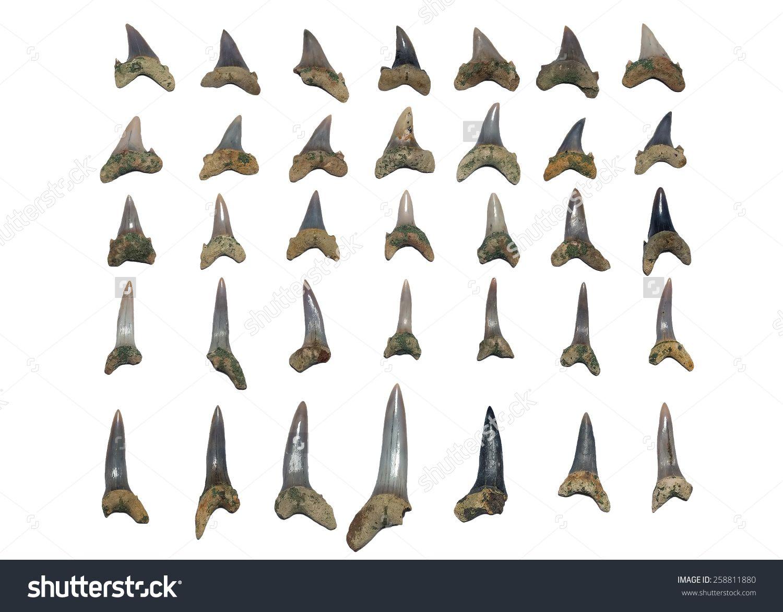 Teeth of fossil shark