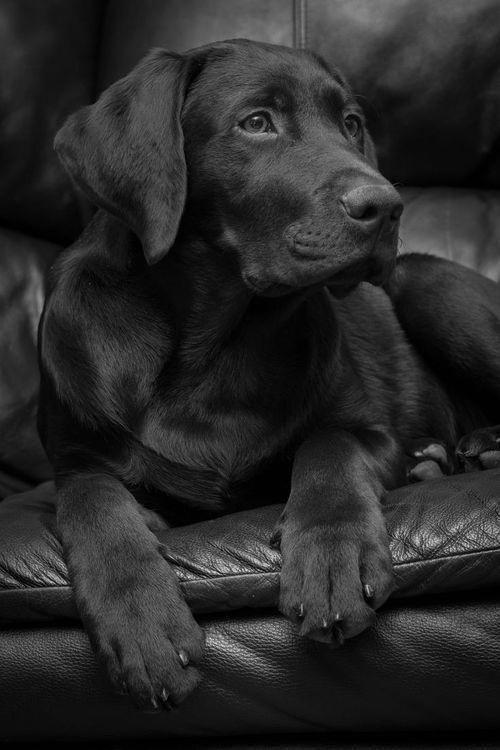 Labrador Retriever Intelligent And Fun Loving In 2020 Labrador Retriever Funny Black Labrador Retriever Lab Puppies