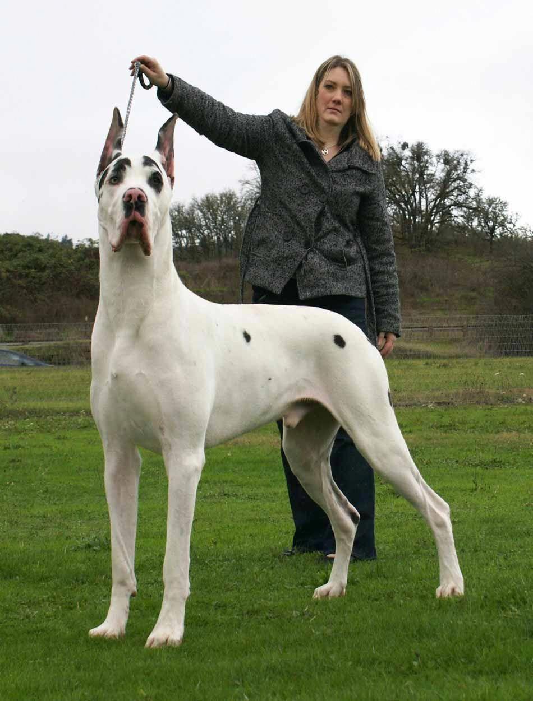 Great Dane Black Harlequin Great Danes Great Dane Dogs Dane Dog