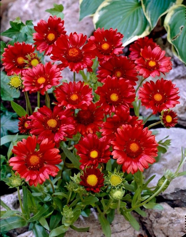 Blanket flower gaillardia very hardy full sun 12 15 blooms all blanket flower gaillardia very hardy full sun 12 15 blooms mightylinksfo