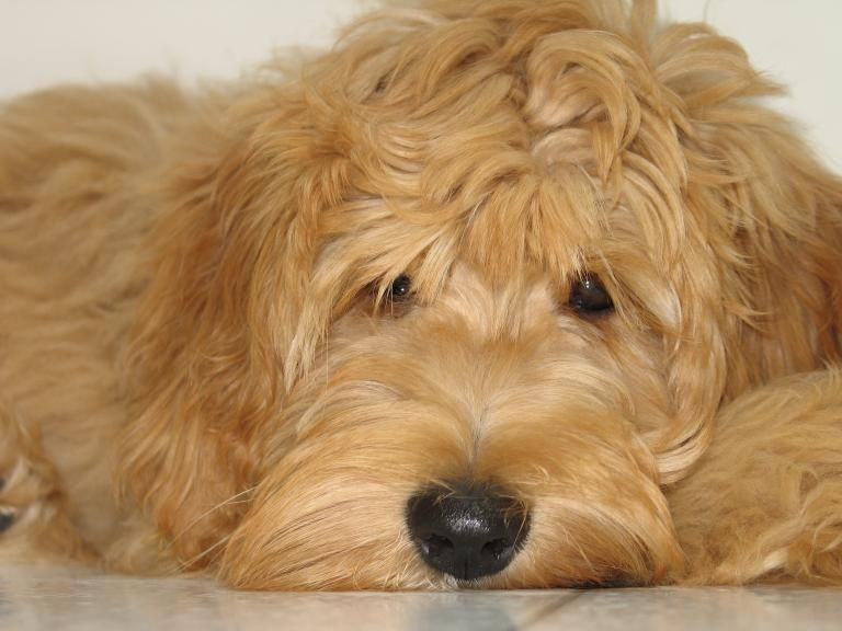 Beau Monde Breeding The Finest Australian Labradoodles In Riverside California Golden Doodles Are G Labradoodle Puppies For Sale Labradoodle Puppy Goldendoodle