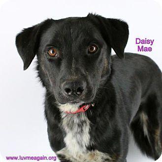 Bloomington, MN Border Collie/Cattle Dog Mix. Meet Daisy