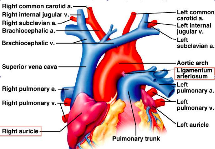 Ductus Arteriosus Ligamentum Arteriosum Anatomy In 2018