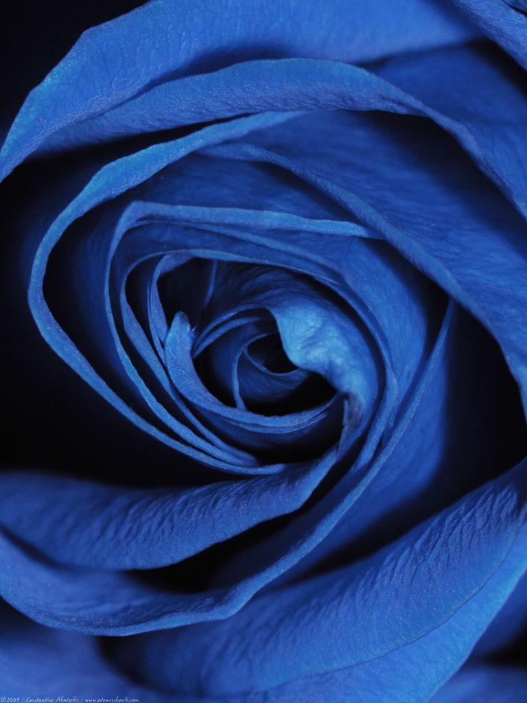 Blau undzuweiter blue rose by atomicshark anything blau undzuweiter blue rose by atomicshark izmirmasajfo