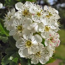 Missouri State Flower Hawthorn Tree Flower Images Flowers