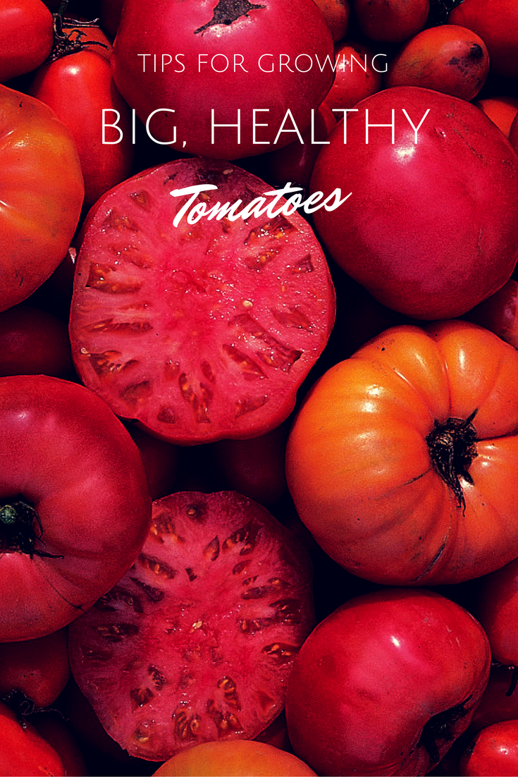 Tips For Growing Big Healthy Tomatoes