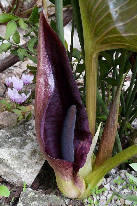 Arum Pictum Cvety Krasota