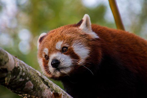 Roter Panda Kleiner Panda Suss Ausgestopftes Tier Roter Panda Susseste Haustiere