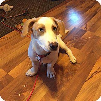 Fond Du Lac Wi Basset Hound Labrador Retriever Mix Meet Martin W