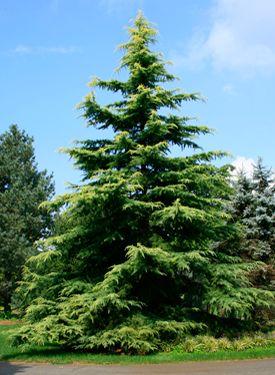 El deodara o cedro del Himalaya, es un árbol gracioso y muy bonito. Difiere de las otras especies por su flecha inclinada y la extremidad cayendo de sus ramas principalmente lo que le da un porte llorón. En ejemplares de semillero, su matiz varía del verde pálido al verde grisáceo o plateado. Se le debe reservar un lugar suficiente, porque después de una salida lenta, tras el trasplante toma pronto altura y envergadura constituyendo bonitos ejemplares aislados. Llega a medir 20 – 25 m de…