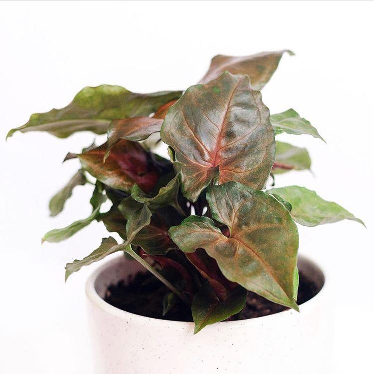 Syngonium Podophyllum Maria Arrowhead Vine Easy Care Plants Low Light Plants Plants