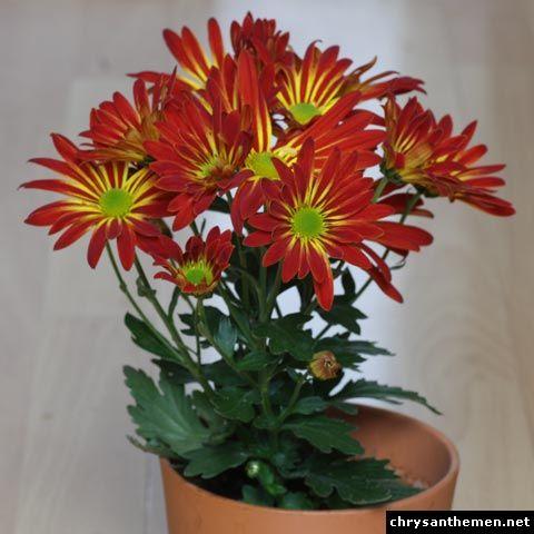 Chrysanthemum Indicum Hybride Chrysantheme Gartenpflanzen Pflanzen