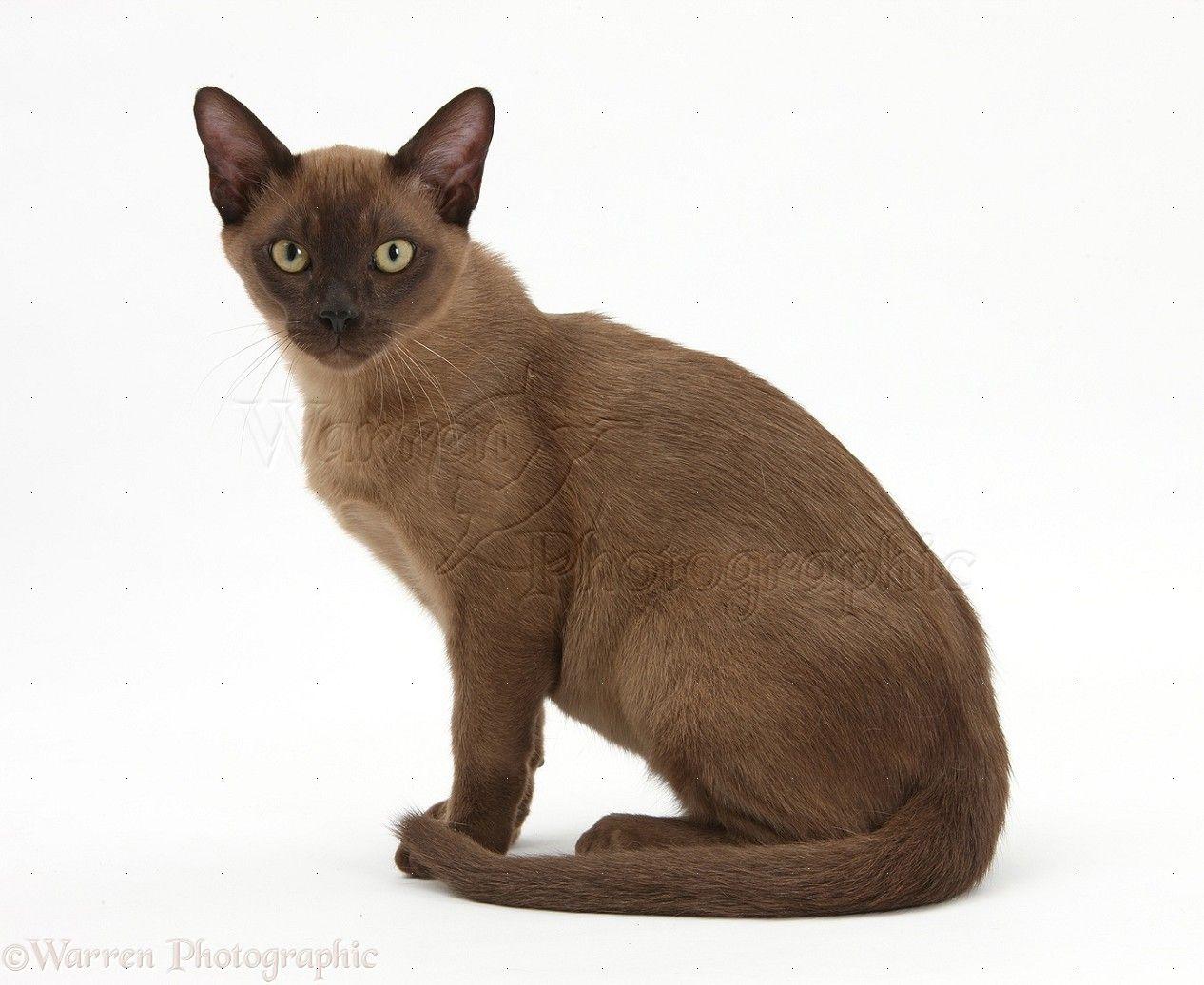 Different Type Of Cats Fluffy Cat Breeds Burmese Cat Fluffy Cat