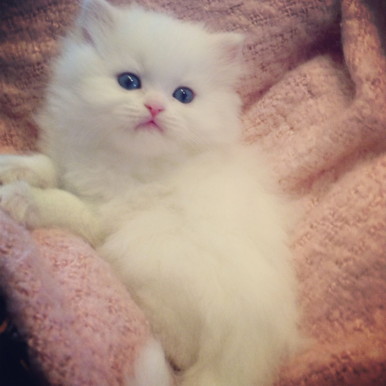 Silver Shaded Kittens Golden Shaded Kittens White Doll Face