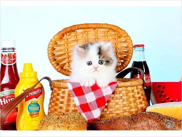 Rug Huggers Kittens Pre Loved Persian Full Ad Persia